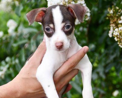 Harry 11084 - Chihuahua/Mix - Puppy Male