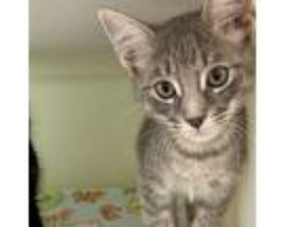 Adopt Tom a Gray, Blue or Silver Tabby Domestic Shorthair (short coat) cat in