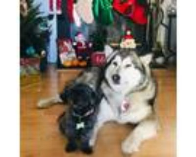 Adopt Bella and Hatchi a Black - with White Husky / Shih Tzu / Mixed dog in Palo