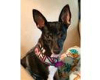 Adopt Dewy Rose a Rat Terrier, Australian Cattle Dog / Blue Heeler