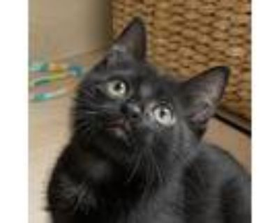 Adopt Bo a Black & White or Tuxedo Domestic Shorthair / Mixed cat in Palatine