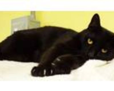 Adopt Enok / Panther a Domestic Short Hair