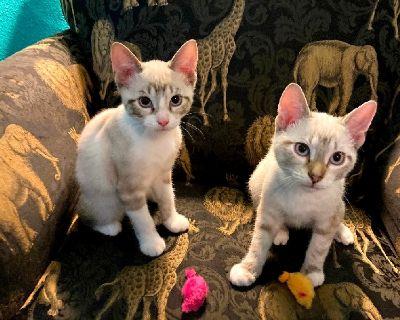 Playful Kittens, Siamese Mix