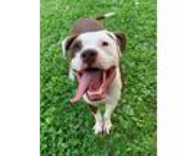 Adopt Buster - ADOPTION FEE WAIVED! a Pit Bull Terrier
