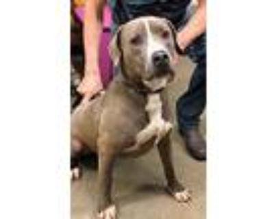 Cesar, Pit Bull Terrier For Adoption In Amarillo, Texas