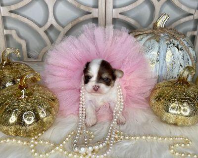 Yorkie Shih Tzu designer Shorkie Puppies