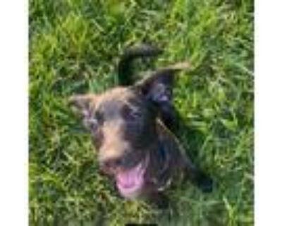 Adopt Coastal Simplicity a Rat Terrier, Labrador Retriever
