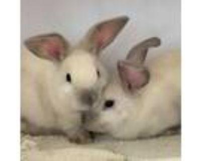Adopt Tipton / Hobnob a Bunny Rabbit