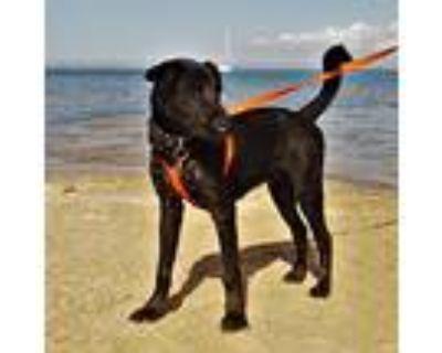 Pepito, Labrador Retriever For Adoption In Seattle, Washington