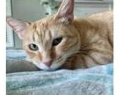 Adopt Carrot a Orange or Red Domestic Shorthair / Mixed cat in Fort Worth