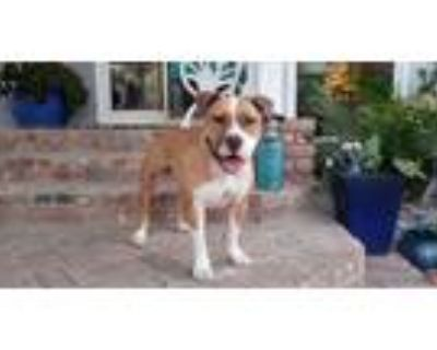 Adopt Patrick a Tan/Yellow/Fawn - with White American Staffordshire Terrier /