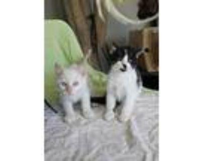 Snow & Iilibet, Siamese For Adoption In Walnut, California
