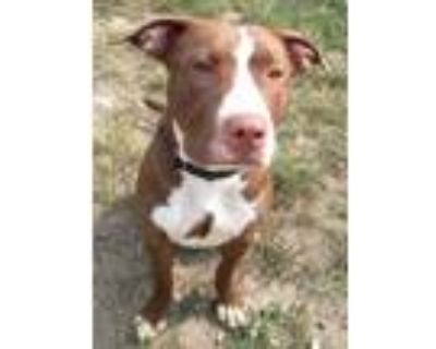 Adopt Juliana a Brown/Chocolate American Pit Bull Terrier / Mixed dog in