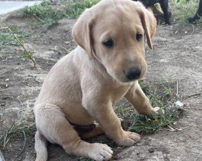 Pointing Labrador Retriever Puppies