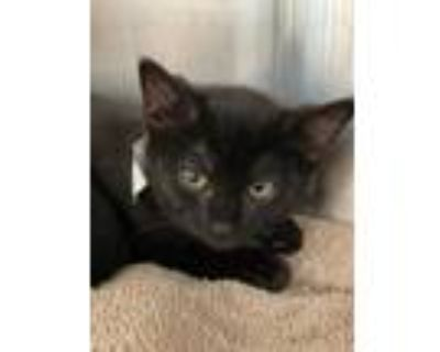Adopt Lucy a All Black Domestic Shorthair / Domestic Shorthair / Mixed cat in