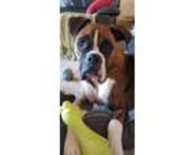 Adopt Ollie a Brindle - with White Boxer / Mixed dog in Ft Worth, TX (30036901)