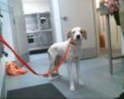 Adopt TEDDY a White - with Brown or Chocolate Labrador Retriever / Mixed dog in