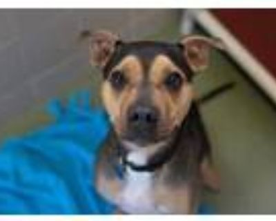 Adopt Chevron a Black American Pit Bull Terrier / Mixed dog in Woodbury