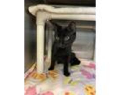 Adopt Peony a All Black Domestic Shorthair / Domestic Shorthair / Mixed cat in