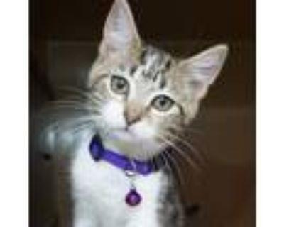 Adopt Shy -$25 a American Shorthair, Domestic Short Hair