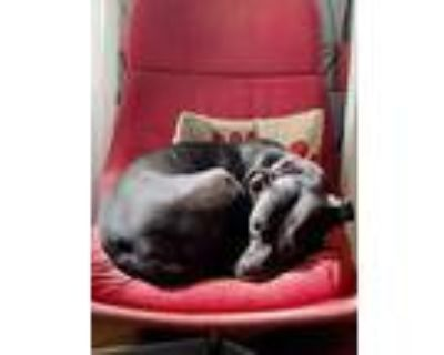 Bella, Pit Bull Terrier For Adoption In Columbia, Missouri