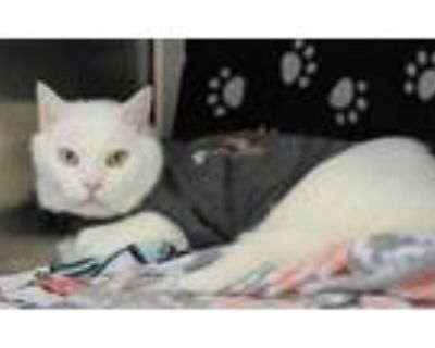 Adopt Diamond a White Domestic Shorthair / Domestic Shorthair / Mixed cat in