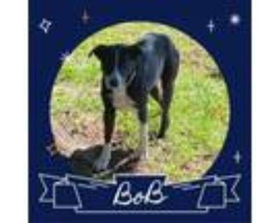Adopt Bob a Border Collie