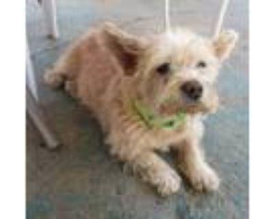 Adopt Chanel a White Standard Schnauzer / Dachshund / Mixed dog in Apple Valley