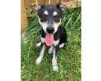 Adopt Bernese a Black - with Tan, Yellow or Fawn Husky / Blue Heeler / Mixed dog
