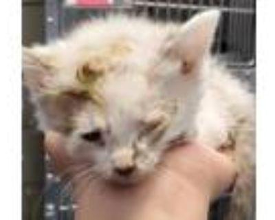 Adopt 47892994 a Siamese