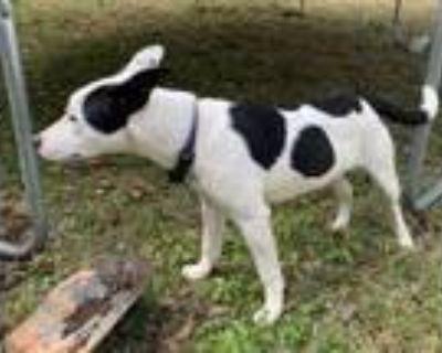 Adopt Nel a White Labrador Retriever / Mixed dog in Mobile, AL (31116727)
