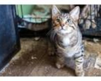 Adopt Grayson a Brown or Chocolate Domestic Shorthair / Mixed cat in Morgantown