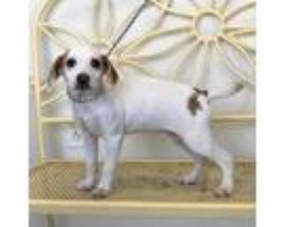 Adopt Cynthia a White Beagle / Mixed dog in New Iberia, LA (30296736)