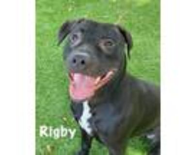 Adopt RIGBY a Pit Bull Terrier