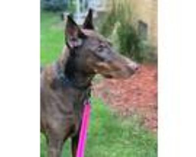 Adopt Edie a Red/Golden/Orange/Chestnut Doberman Pinscher / Mixed dog in