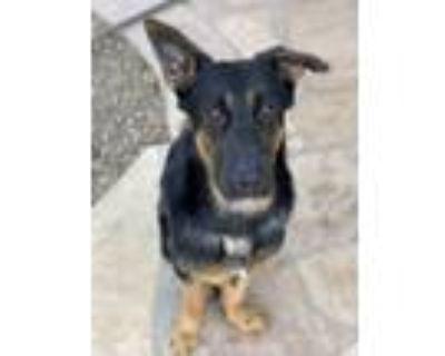 Adopt Koda a Black - with Tan, Yellow or Fawn German Shepherd Dog dog in