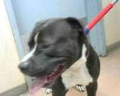 Adopt *THOR a Black American Pit Bull Terrier / Mixed dog in San Jose