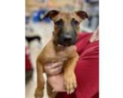 Adopt Sam a Brown/Chocolate - with Black Pit Bull Terrier / Shepherd (Unknown