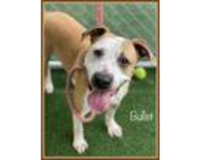 Adopt BULLET a Staffordshire Bull Terrier