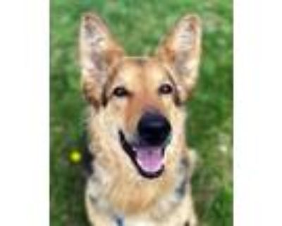 Adopt Louisa a Black - with Tan, Yellow or Fawn German Shepherd Dog / Mixed dog