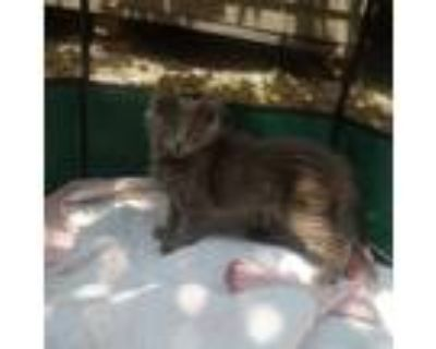Adopt Cheese a Gray or Blue Domestic Longhair / Mixed (long coat) cat in Kansas