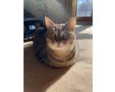 Adopt Scout a Gray, Blue or Silver Tabby American Shorthair / Mixed (short coat)