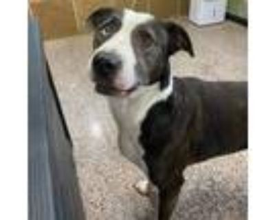 Adopt Timber a Black Pit Bull Terrier / Labrador Retriever / Mixed dog in