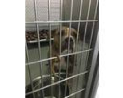 Adopt LISA a Pit Bull Terrier, Mixed Breed