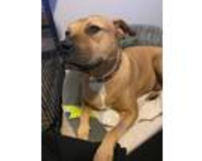 Adopt Yoshi a Labrador Retriever, Shar-Pei