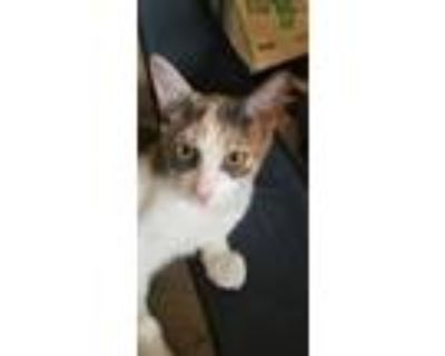 Adopt Lucy a Calico or Dilute Calico Domestic Shorthair (short coat) cat in San