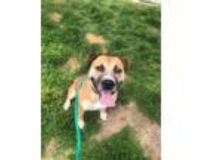 Adopt TOBIN a Pit Bull Terrier, Mixed Breed