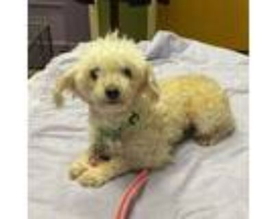 Adopt Cottontail a Poodle