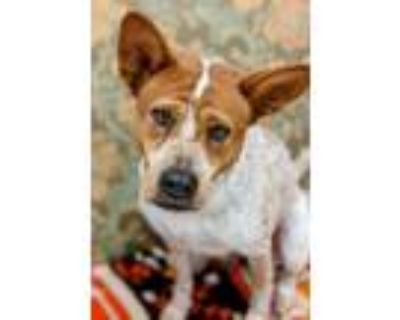 Adopt Reba a Australian Cattle Dog / Blue Heeler
