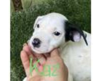 Adopt Kaz! Sweet and playful puppy! a Staffordshire Bull Terrier